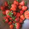 イチゴ初収穫