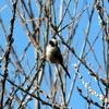 春のエナガ(柄長鳥)