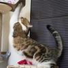 [猫日記]巨大化が進みキャットタワーの踏み台を強化
