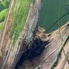 ヤマトヌマエビ親の抱卵