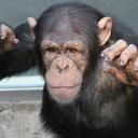 チンパンジー旅行記