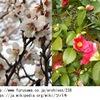 ツバキは春の花?開花日を梅と比べてみましょう---.結果は:地域によっては冬の花といった方が良いかもしれませんね / ツバキ属の花にはチャノキも! ツバキ / 万葉集  あしひきの,やまつばきさく,やつをこえ,ししまつきみが,いはひづまかも    作者不明