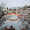 公園の桜撮影