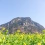 済州島(チェジュ島)春のフォトスポット #山房山の麓に広がる菜の花畑