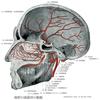 中硬膜動脈と後硬膜動脈の分岐元の語呂合わせ