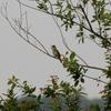 木の上でさえずるオオヨシキリ