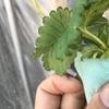親株のランナーから新苗を作る方法【イチゴの水耕栽培】