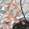 #11 ユーカリグニー 葉が白い