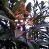 2月2日 枇杷の花