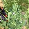 【農業・畑】キャベツのゾンビ化現象とさや大根