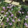 サフランの栽培で紫色には癒しの効果があると感じる。満開寸前