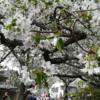 【京都観光】4月の京都・哲学の道と平安神宮の桜並木