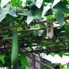 ヘチマ(糸瓜)とは?栽培方法と由来~知って得するヘチマのこと その1