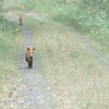 A Wild Fox Chase - h0912