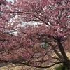 週末は伊豆へ行こう。早咲きの桜【河津桜】