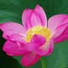 森川花はす田の花ハスとカエル