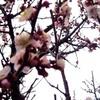 沈丁花と梅