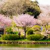 近所にもサクラの名所があった、県立三ツ池公園で2017年最後のサクラを撮る【2017.04.15】