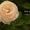 夏のバラ+LINEスタンプ第2弾