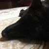 甲斐犬サン、鼻が剥ける(´°̥̥̥̥̥̥̥̥ω°̥̥̥̥̥̥̥̥`)