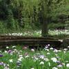 梅雨の花「ハナショウブ」は横から見る花