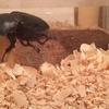 虫嫌いなのにクワガタを飼い始めた話 ~100均アイテムで虫&ニオイ対策~