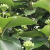 カクレミノの花と実、そして葉
