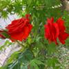 母の介護(31) 薔薇が咲いた。