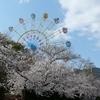 神戸)王子動物園、王子公園、都賀川。桜ほぼ満開見頃。野鳥、シロハラ。旦旦(タンタン)。