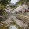 兵庫県)夙川、芦屋川、桜ほぼ満開で見頃。野鳥、ツグミ、ムクドリ、ヤマガラ。