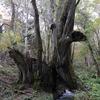 兵庫県)神鍋高原、たじま高原植物園、和知の大カツラ
