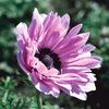 今日の誕生花「アネモネ」ギリシア語で風を意味する花!
