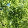 新緑の欅きらきら