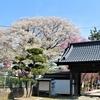 満開の水沢の桜と競馬