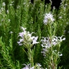 ローズマリーの花 2012秋