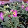 1月の庭作業とプリムラジュリアン