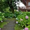 智積院の紫陽花、金堂裏で咲く!