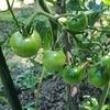 素人でもできる野菜づくり!逗子の畑の記録 (開始から2ヶ月)