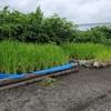 3年生の田んぼ.     Reisanbau der 3Klasse