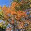 中央地区 淵野辺公園の紅葉報告 (11月20日現在)