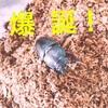【クワガタ飼育記】卵から成虫に~菌糸瓶と育成マットでの飼育方法