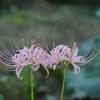 ピンク色の彼岸花「香林寺」
