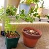 にんじんとアボカドの植えつけ。マザーリーフの里帰り