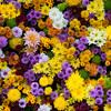 【花の福島】二本松神社の菊手水と霞ヶ城公園の菊花展を見てきました!