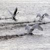 一斉に飛び立つ手賀沼公園のコブハクチョウ