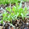 ミニニンジンに本葉!葉ネギも収穫。
