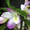 蘭の花 2013 3月