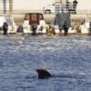 【前兆現象】6月12日に北九州市小倉北区の市街地に近い港で『迷いクジラ』が見つかる!5月下旬には長崎県で『リュウグウノツカイ』・『サケガシラ』・『クジラ』も!『環太平洋対角線の法則』の発動による『南海トラフ地震』などの巨大地震に要警戒!!