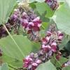 葛(クズ)の花が持つ成分、サポニンとイソフラボンの効果とは