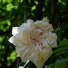 バラ開花し始め・・村山市バラ祭りまでカウントダウン